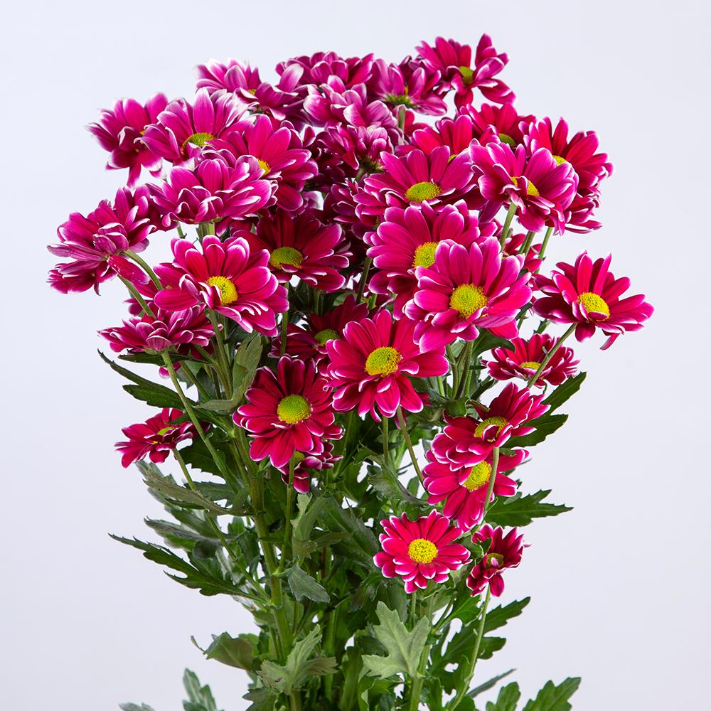 Crisantemo Spray Bicolor Fuchsia
