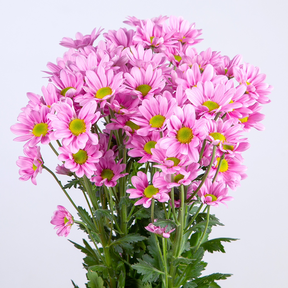 Crisantemo Spray Margarita Rosa