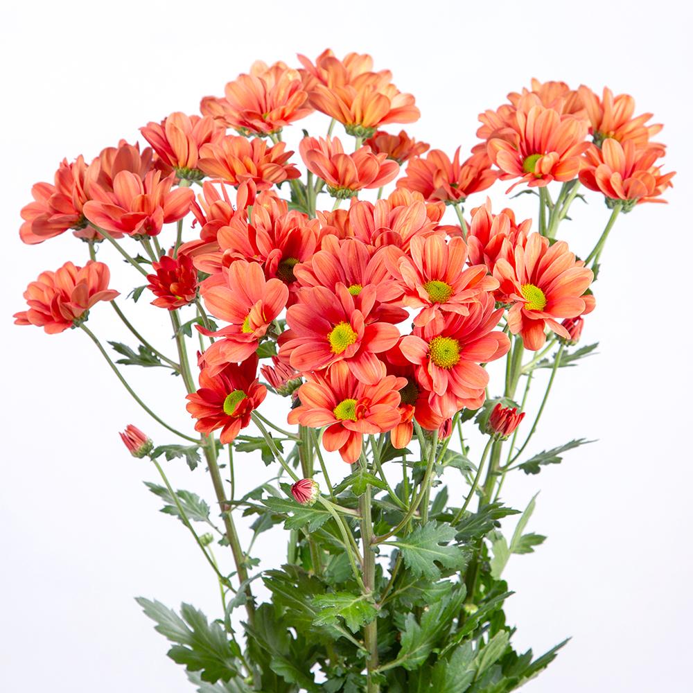 Crisantemo Spray Margarita Naranja