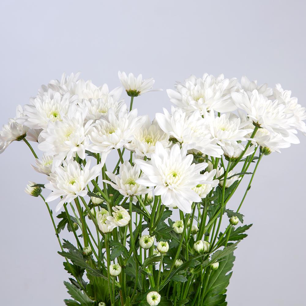 Crisantemo Spray Doble Blanco
