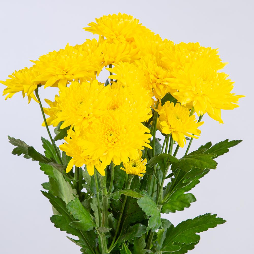 Crisantemo Spray Dobel Amarillo
