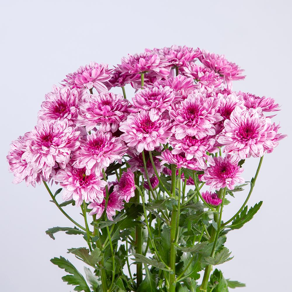 Crisantemo Spray Doble Rosa
