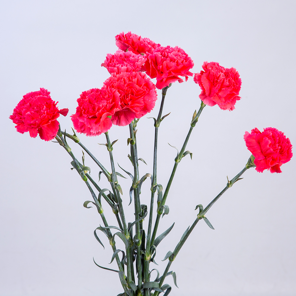 Clavel Fuchsia