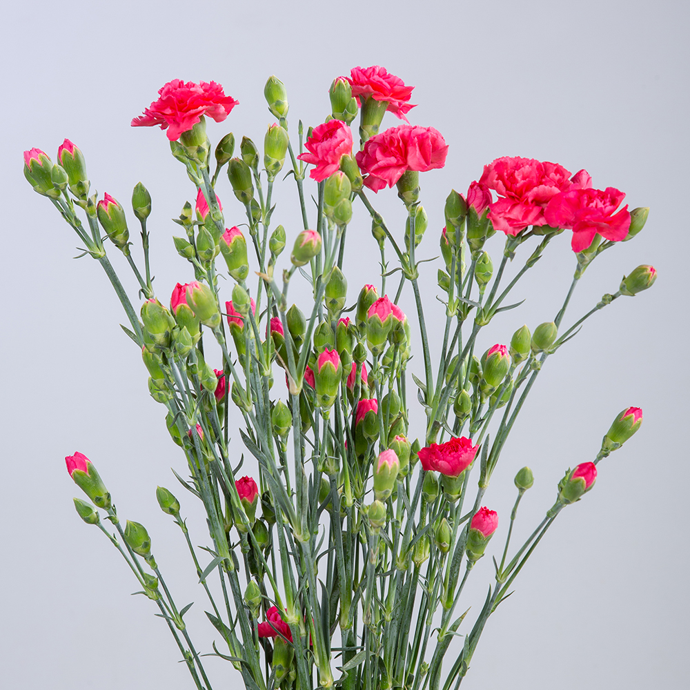 Clavel Spray Fuchsia