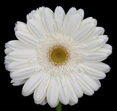 Gerbera Blanca